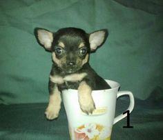 TEACUP Mini Chihuahua Welpen WIE AUS DEM BILDERBUCH. Die Chihuahua Welpen kommen bestens sozialisiert zu ihrer neuen Familie, kennen das geräusch von Radio und Fernsehen genauso wie den Staubsauger. Alle Zwei Chihuahua Hunde stehen unter ständiger Tierärztlicher Kontrolle.