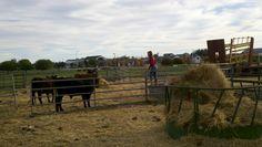 Choosing a heifer for the County Fair