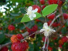 Como plantar pitanga. A pitanga é fruto da pitangueira, uma árvore de climas quentes, sejam eles equatoriais, tropicais ou sub-tropicais, mas desde que irrigada, pode até ser cultivada em climas mais áridos. A pitanga apre...