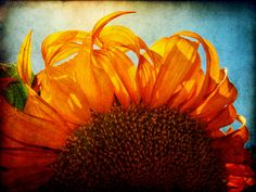 An award winning sunflower photo. ᘠ♥ᘡ Italian-Mama ᘠ♥ᘡ