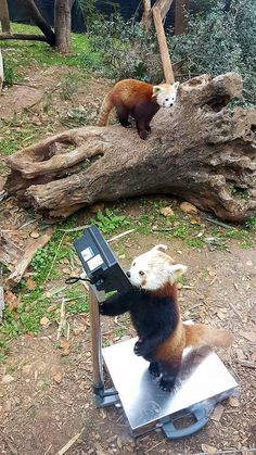 Red pandas during their monthly weighing at the Jerusalem Biblical Zoo http://ift.tt/2yCefBt