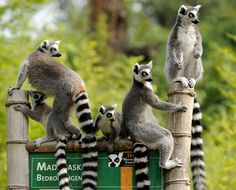 Did you know that Lemurs are afraid of turtles???  The Indy Zoo has the funniest Lemurs ever.