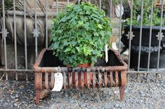...ivy topiary love...