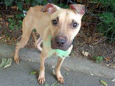 SAFE 7/5/13 Manhattan CEDY - A0969541 FEMALE BROWN AM PIT TER MIX, 11mos Cedy found tied to a pole has been seriously neglected. She is emaciated w/ every rib showing & her hip bones jutting out. Cedy is a baby & w/ proper nutrition & a loving home will grow up into a gorgeous & loving companion. But  now is schedule to die tomorrow not knowing kindness or love  Pls someone find it in your heart to step-up for her tonite. She deserve to know what love is
