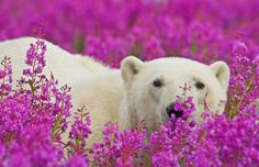polar bears amongst the fireweed in churchill, manitoba. the area has the largest, and most southerly, concentration of the animals on the planet. in late summer and early fall the polar bears make their way to the hudson bay, waiting for it to freeze over so they can hunt for seals on the ice. but every year, the ice is forming later and later, forcing the polar bears to go hungry for longer