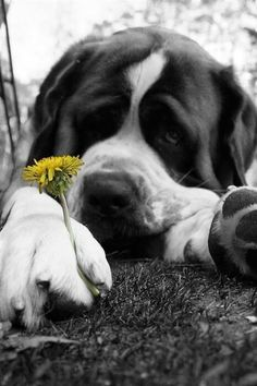 St Bernard Dog with Dandelion. Great Photo!