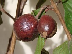 Exotic Fruit Trees: Indian Guava Fruit Tree