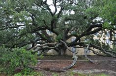 The Friendship Oak Tree on the Mississippi Coast dates back to the late ❤️ Long Beach Mississippi, Friendship Photos, Before I Die, Us Travel, Places Ive Been, Trip Advisor, Road Trip, Coast, United States