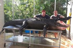765-Pound Monster Gator Bagged in Florida | New Port Richey, FL Patch