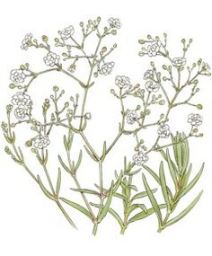 Kitchen Garden Seeds- Baby's Breath Gypsophila- perennial, 3', easy to grow from seed, can direct sow but sow indoors 8 weeks before first frost to insure first year flowering.