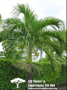 P020201Veitchia Merrillii(Manila Palm)