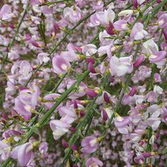 Cytisus 'Moyclare Pink' - ne of the best plants for cold, exposed or coastal gardens, this pretty broom will take it all in its stride and still put on a great show. It has slender stems, which become more arching as they grow. These are clothed with small green leaves, but it is for the masses of pink, pea-like flowers that appear in spring that this plant is most highly prized.
