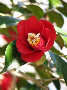 EASTERN design office- I don't like truth, …EASTERN design office flowersgardenlove: Camellia japonica Flowers Garden Love life, camellia, Tsubaki - Types Of Flowers, Pretty Flowers, Red Flowers, Flower Names, My Flower, Beautiful Roses, Beautiful Gardens, Camellia Japonica, Rhododendron