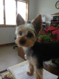 """Awwwwwwww""  Looks like My Buddy, ((YORKIE))   Fresh Hair~Cut  * So Cute!!!"
