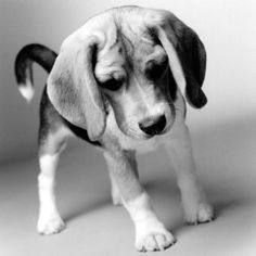 Beagle! Look at those big ole ears. I love it when they concentrate - it looks as if they're frowning :)