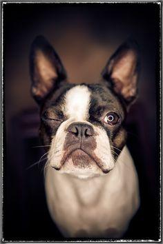 Boston Terrier. Winking. Hugo the Dog.