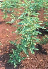 Quebra-pedra (Phyllanthus niruri)