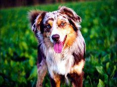 Discover The Australian Shepherd Puppies Health Australian Shepherds, Australian Cattle Dog, Aussie Shepherd, Australian Shepherd Puppies, Aussie Puppies, Dogs And Puppies, Doggies, Corgi Puppies, West Highland Terrier