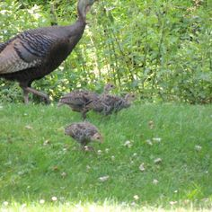 Wild Turkeys. In the yard, at the feeders, in the mountain ash tree. The little polts are very cute. The real trick isn't attracting them, it's how not to track turkey crap into the house...