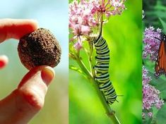 Save the butterflies with DIY milkweed seed bombs Butterfly Weed, Butterfly Plants, Monarch Butterfly, Butterflies, Swamp Milkweed, Seed Bombs, Flying Flowers, Hummingbird Garden, Little Gardens