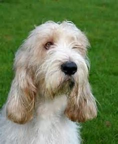 Grand Basset Griffon Vendeen Petit Basset Griffon Vendeen, Pet Lovers, Basset Hound, Dog Breeds, Puppies, Horses, Dogs, Animals, Cubs