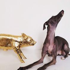 I'll just pretend I haven't seen him! Gold Areawear Harry Allen Design Pig Bank #ItalianGreyhound