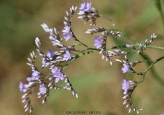 https://flic.kr/p/yTV1he | Saladelle (Limonium vulgare), Common sea-lavender