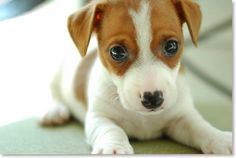 Jack Russell Terrier Puppy - Click image to find more Pets Pinterest pins