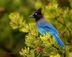 Steller's Jay- Love our new visitor this winter