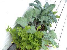 Chou Kale au 5 août 2014 ...géant      Délicieux en salade avec orange poulet et fenouil Chou Kale, Orange, Garden, Sprouts, Chicken, Salad, Fennel, Accessories, Garten