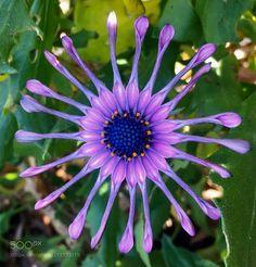 Ornamental daisy -