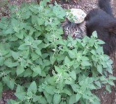 How to Grow Catnip in Your Garden