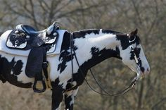 Equine American Paint Horse western quarter paint horse paint pinto horse Gypsy Vanner Indian pony s All The Pretty Horses, Beautiful Horses, Animals Beautiful, Beautiful Creatures, American Paint Horse, Cheval Pie, Painted Pony, Horse Pictures, Horse Photography