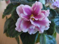 ЕК-Подарок на Рождество (Коршунова ).   Крупные (6см) махровые и полумахровые чуть волнистые малиновые цветы с широкой белой каймой. Насыщенно-зелёные листья. Яркий и нарядный сорт!
