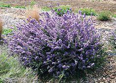 """Ceanothus Maritimus / """"Valley violet"""" maritime ceanothus.  Small shrub.  Full sun or part shade.  Best ceanothus!  EVERGREEN."""