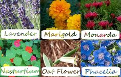 Alphabetical List of Flowers, their companion plants and plant benefits.