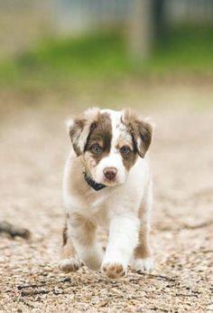 australian shepherd. I want to get one soooo bad!!!