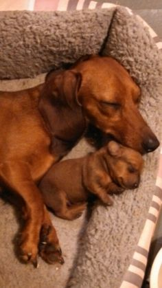 Mama Dachshund & Baby     Check out more #Art & #Designs at: http://www.vektfxdesigns.com