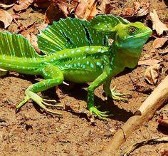 green basilisk lizard /Basiliscus plumifrons