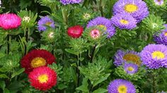 Matsumoto Aster - 21 Most Sun Kissed Flowers in Season in July - EverAfterGuide