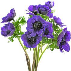 Anémona violeta
