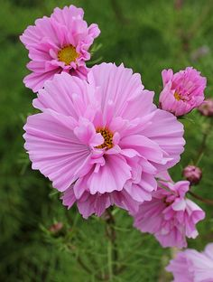 ~~Cosmos 'Prom Dress' by Annie's Annuals & Perennials~~