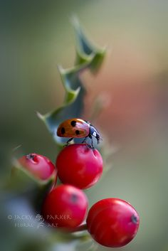 lady bug, Jacky Parker shared by Fred on We Heart It She's A Lady, Lady In Red, Beautiful Bugs, Beautiful Pictures, Impression Poster, Fotografia Macro, Bugs And Insects, Macro Photography, Belle Photo