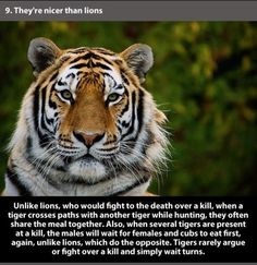 tigers are awesome
