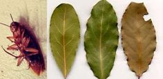 Bay leaves are the most efficient and natural cockroaches repellent. Read why.