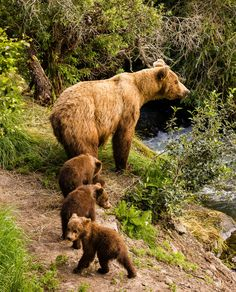 When temperatures warm up and food is available, brown bears slowly begin to leave their dens. After 4-5 months of sleep and limited activity, male bears emerge first, usually from early to mid-March,...