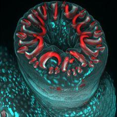 Posuwka gąsienicy z haczykami chwytnymi (powiększenie 20x), fot. Karin Panser