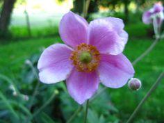 Anemone - pink Japanese