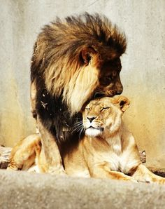 love this image... maybe for a tattoo one day. Beautiful image of the lion and lioness.