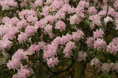Rhododendron carolinianum -- 3-5 ft, open, rounded. Prefers partial shade, acidic, moist, well-drained soil. Intolerant of wet, high-pH soils, salinity, win- ter wind, and winter sun. Large, umbel-like  ow- ers range from white to pale rose to rosy purple in mid-May. Large leaves are dark green during the summer and turn green to purple green in the winter. Two varieties: 'Album' (white  owers) and 'Luteum' (yellow  owers). Will survive zone 5 with winter protection.